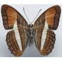 Adelpha cythera  mâle  A1- Equateur