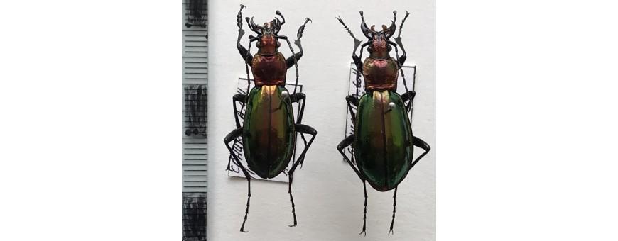 Carabidae