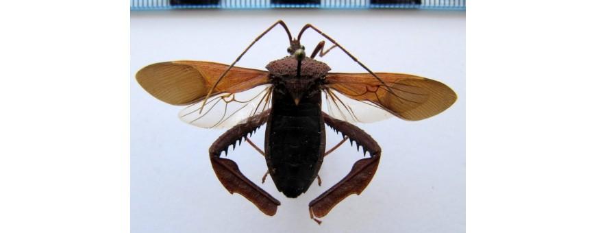 Hemiptera - punaises