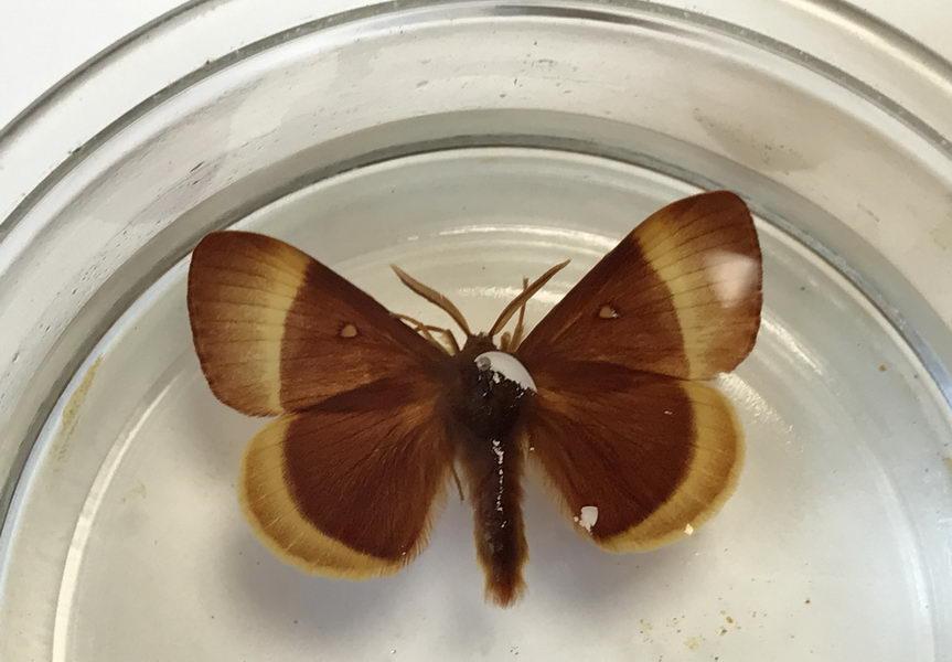 papillon gras