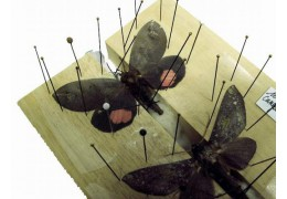 Préparation des papillons